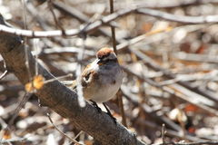 House Sparrow. This is a House Sparrow resting on a tree Royalty Free Stock Image
