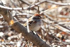 House Sparrow. This is a House Sparrow resting on a tree Royalty Free Stock Images