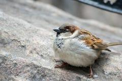 House Sparrow on Rock Stock Photos