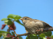 House sparrow on rose branch Stock Photo
