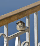 House sparrow sat on a fence Stock Image
