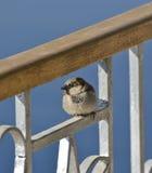 House sparrow sat on a fence Stock Image