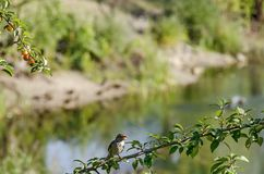 House sparrow sing on branche of wild plum with yellow fruits and leaves Stock Photo