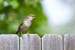 House Sparrow Singing on the Backyard Fence Stock Photos