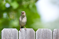 House Sparrow Singing on the Backyard Fence Royalty Free Stock Photos