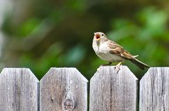 House Sparrow Singing on the Fence Royalty Free Stock Photography