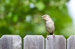 House Sparrow Singing on the Fence Stock Photos