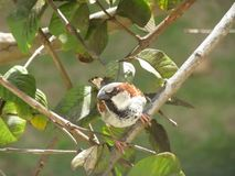 House Sparrow Singing stock video footage
