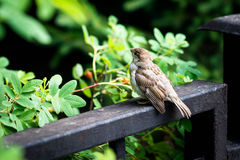House sparrow sits on a metal bar Royalty Free Stock Photography