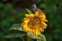 House sparrow sits on top of sunflower plant royalty free stock photo