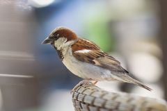 House sparrow sitting on the backrest. House sparrow male, Passer domesticus, a bird of the sparrow family Passeridae, sitting on the backrest, against colorful Stock Image