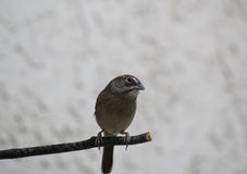 House Sparrow. Sitting on branch Stock Images