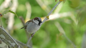 House Sparrow Sitting On A Branch,Chirping And Fly Away, Male stock video footage