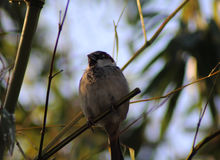 House sparrow. On sitting on branch in the garden Stock Photos