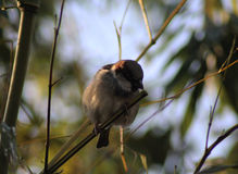 House sparrow. On sitting on branch in the garden Stock Photography