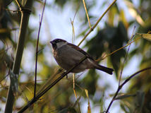 House sparrow. On sitting on branch in the garden Stock Photo