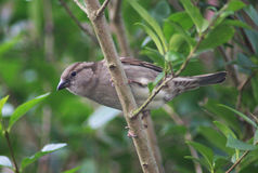 House sparrow. On sitting on branch in the garden Royalty Free Stock Images