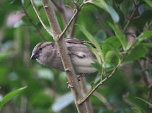 House sparrow. On sitting on branch in the garden Royalty Free Stock Photography