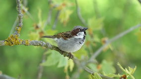 House Sparrow Sitting On A Branch Of Platane Tree And Chirping stock video