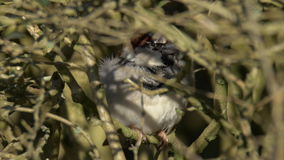 House Sparrow Sitting in a Bush stock video footage