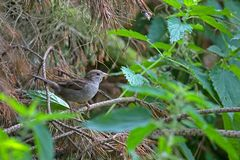 House sparrow sitting in the bushes Stock Photos