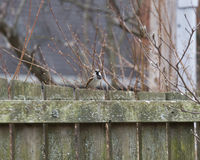 House sparrow sitting on fence Stock Photos