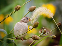House sparrow sitting on a grass stalk Stock Image