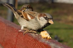 House Sparrow Sitting Outside. Urban Birds. Bread Feeding Royalty Free Stock Images