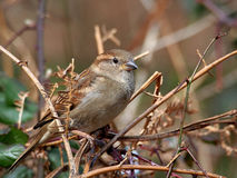 House Sparrow Sitting on a Perch. A female house sparrow perched on a twig Stock Photos