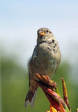 House Sparrow sitting pretty  Stock Photos