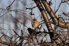 House Sparrow. Sitting on a twig on a cold day Stock Image