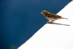 House sparrow Royalty Free Stock Photography