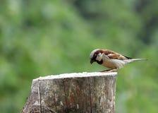 House sparrow Royalty Free Stock Photo