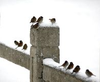HOUSE SPARROW IN SNOW Stock Photos