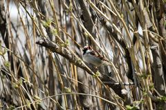 House sparrow  in spring branches. Sparrow in spring in the branches of the lilac bush in the garden Royalty Free Stock Photography