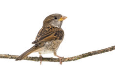 House Sparrow standing on branch Royalty Free Stock Images