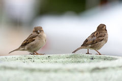 House sparrow standing on fence Stock Photography