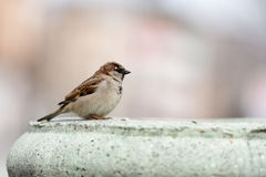 House sparrow standing on fence Royalty Free Stock Image