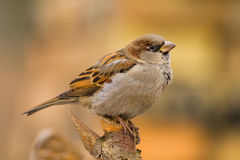 House sparrow on a stick Stock Photos