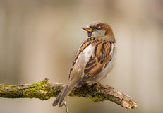 House sparrow on a stick Stock Image
