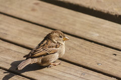 House sparrow sunbathing on wooden boards Stock Photography