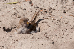 House sparrow taking a sand bath Royalty Free Stock Images