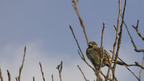 House sparrow about to fly. House sparrow perched on an apple tree Royalty Free Stock Photo
