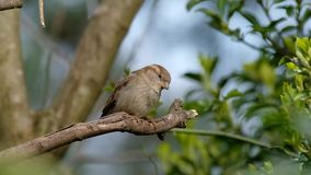 House Sparrow in tree. stock footage