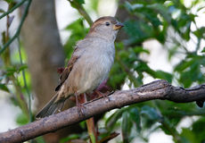 House Sparrow in tree. The house sparrow is a bird of the sparrow family Passeridae, found in most parts of the world. A small bird, it has a typical length of Royalty Free Stock Photography