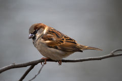 House Sparrow on a Tree Branch Stock Photo