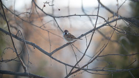 House sparrow on a tree branch at sunny winter day in park royalty free stock image
