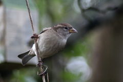 House sparrow in tree Stock Image