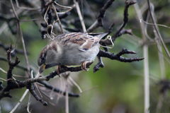 House sparrow in tree. Collecting food Royalty Free Stock Image