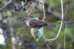 House sparrow in tree. Collecting food Stock Images
